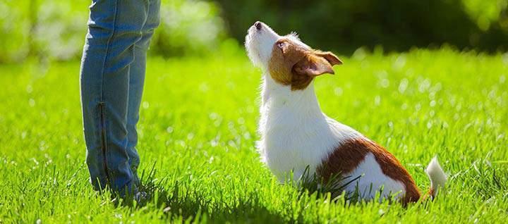собака смотрит на хозяина