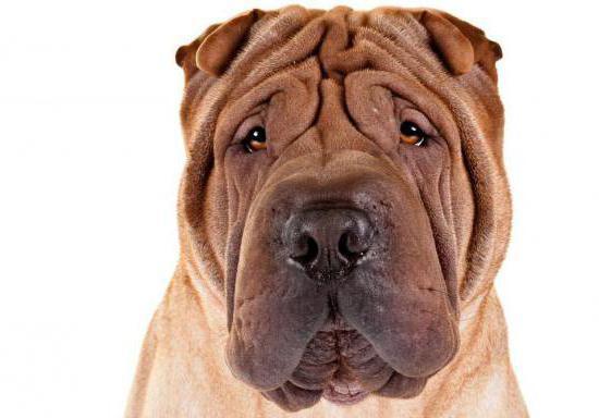 собака со складками порода