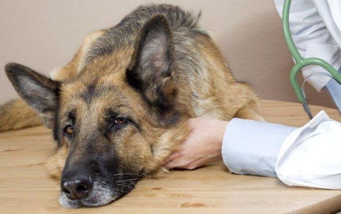Собака у ветеринара