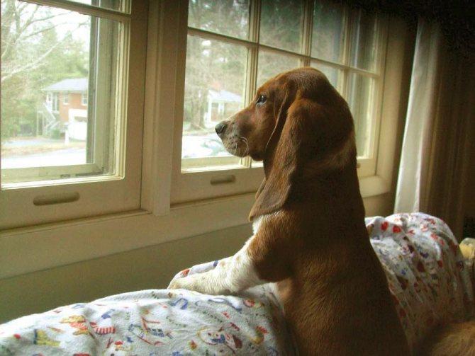 Собака весь день сидит дома, с нетерпением ожидая любимого хозяина