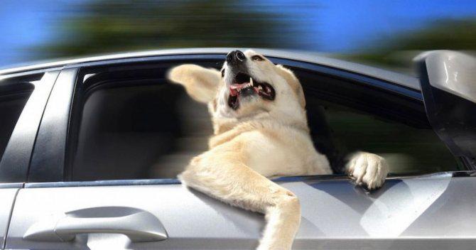 Собака во время поездки
