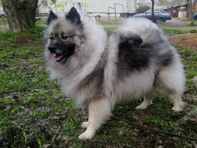 Собака вольф шпиц
