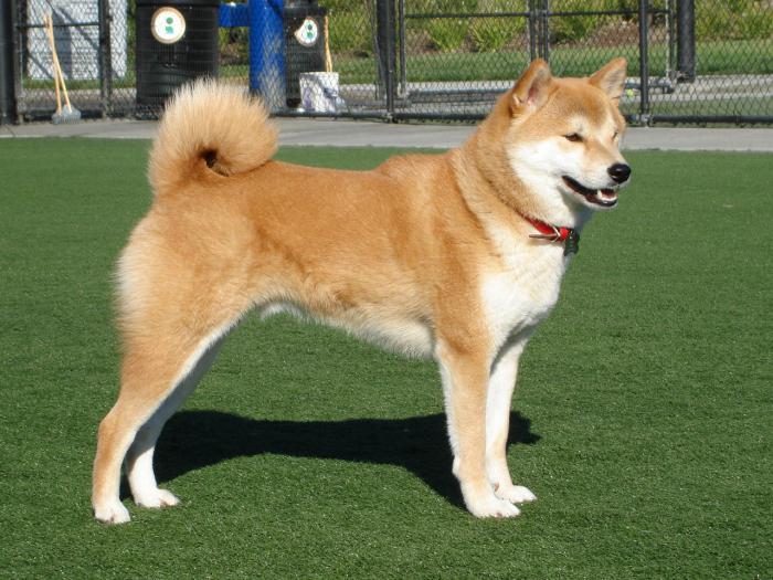 собака японская акита фото
