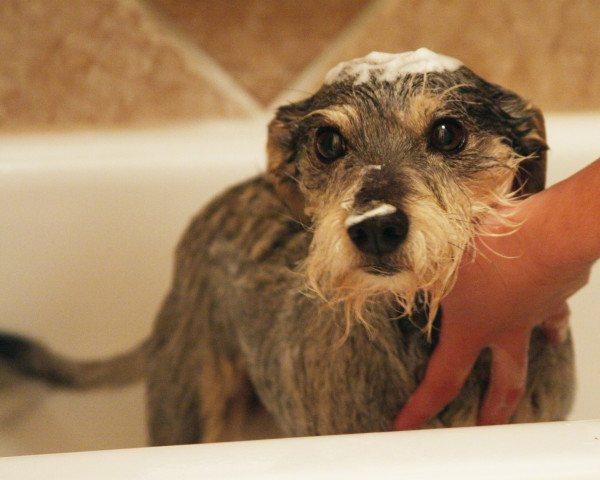 Собаке не нравится купание
