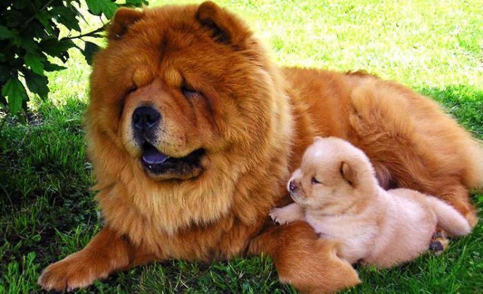 собаки Чау Чау отзывы