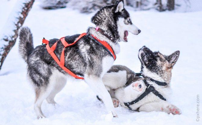 Собаки играют на морозе