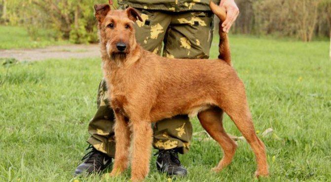 собаки ирландский терьер как охранники