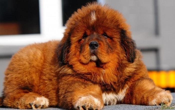 Собаки из Книги рекордов Гиннесса