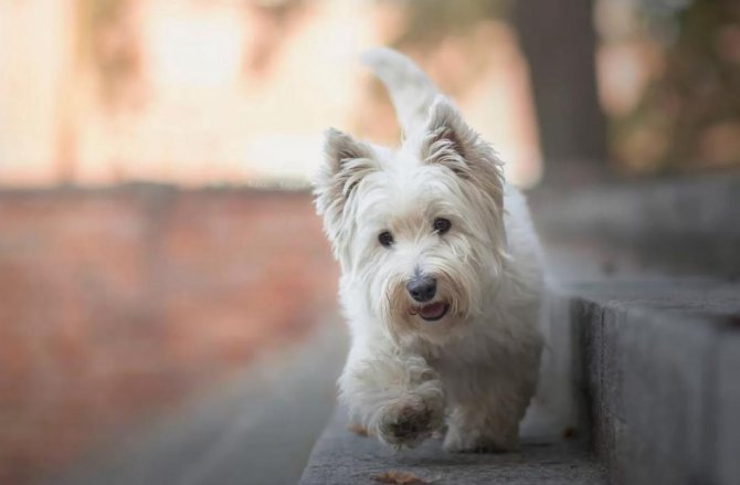 Собаки, которые не вызывают аллергию - ТОП 20 пород