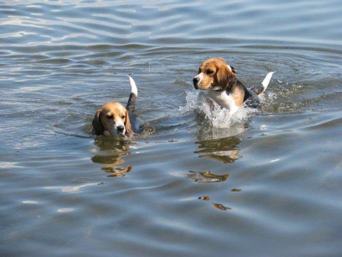 Собаки породы бигль фото