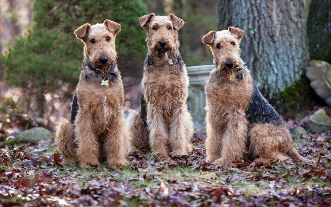 Собаки породы эрдельтерьер