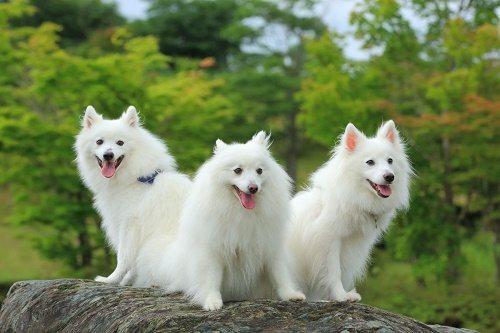 Собаки породы японский шпиц