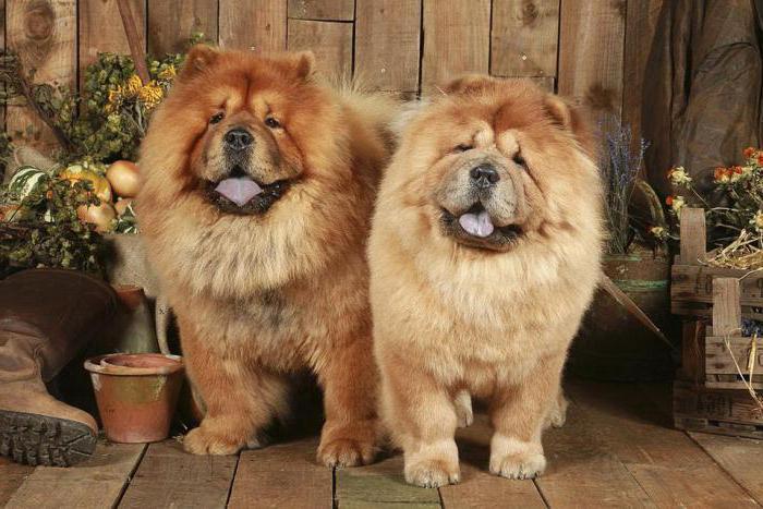 собаки с фиолетовым языком