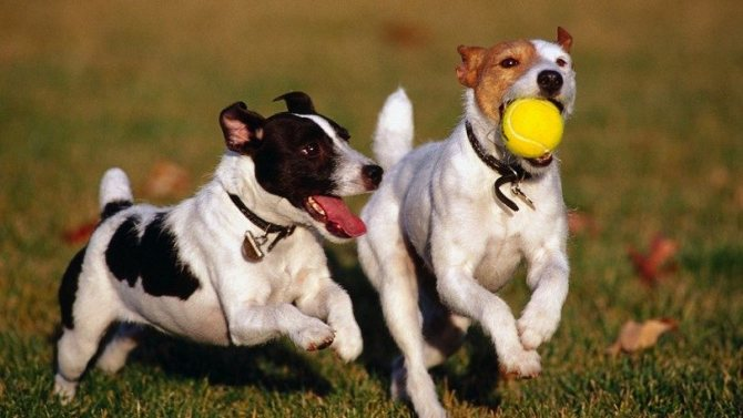 Собаки с мячом