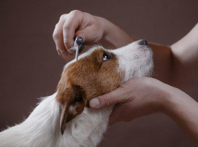 Содержание и уход за собакой Джек Рассел