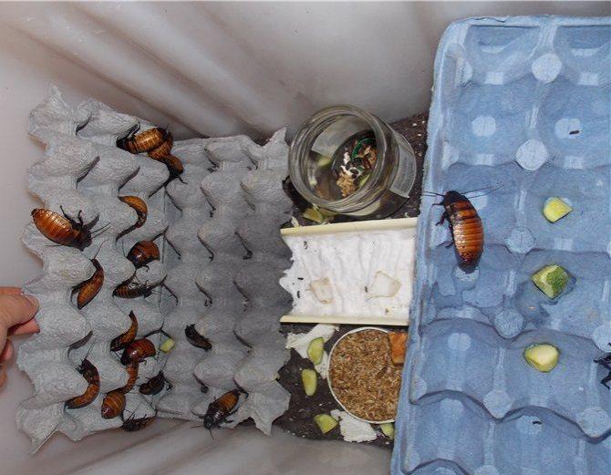 Содержание мадагаскарских тараканов