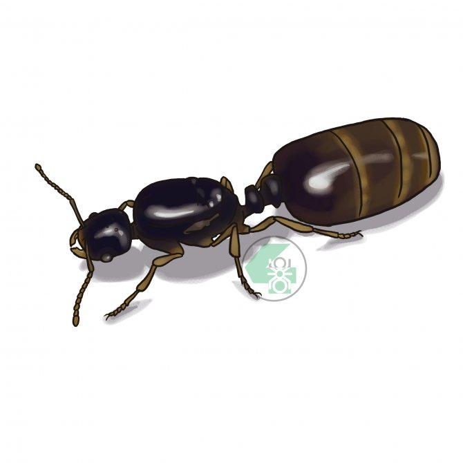 Solenopsis fugax (муравей-вор)