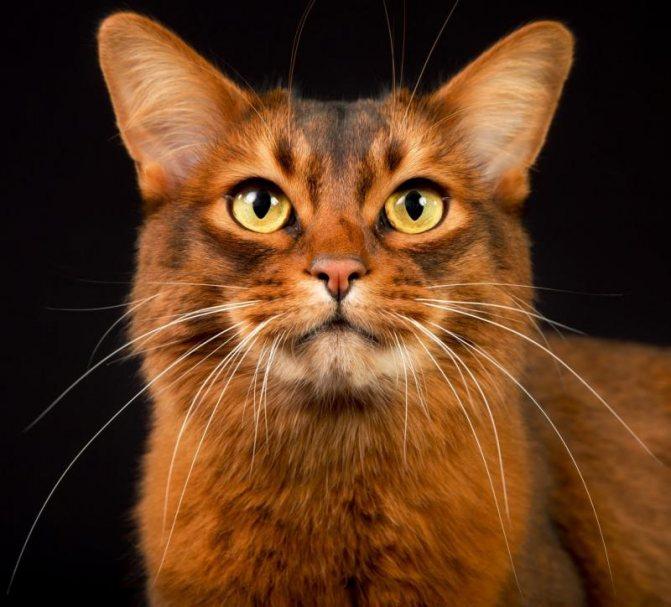 Сомалийская кошка сомали происхождение и описание породы