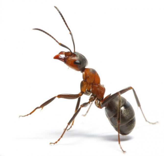 Сон о муравьях: разные виды муравьев