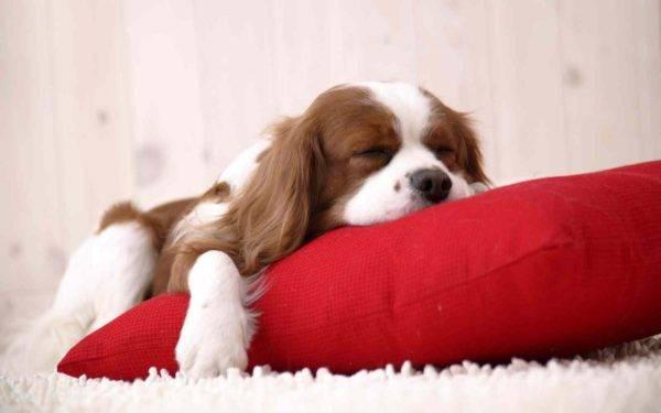 Сон собаки и нагрузки