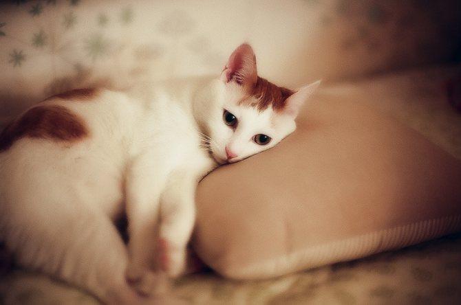 Сонливость у кошек