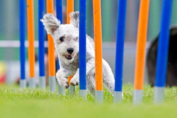 Соревнования по аджилити для собак