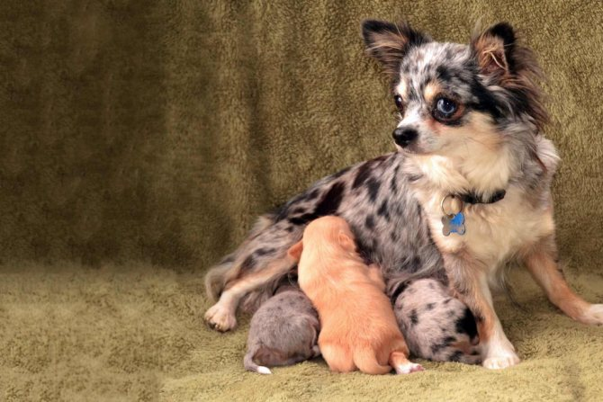 Состояние собаки перед родами
