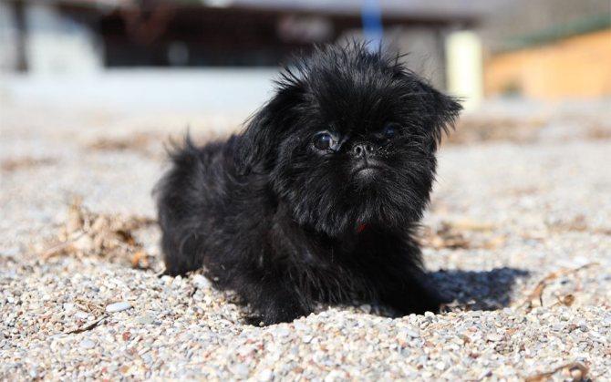 Советы по выбору щенка брюссельского гриффона