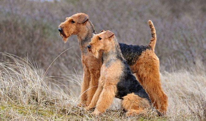 Советы по выбору щенка эрдельтерьера
