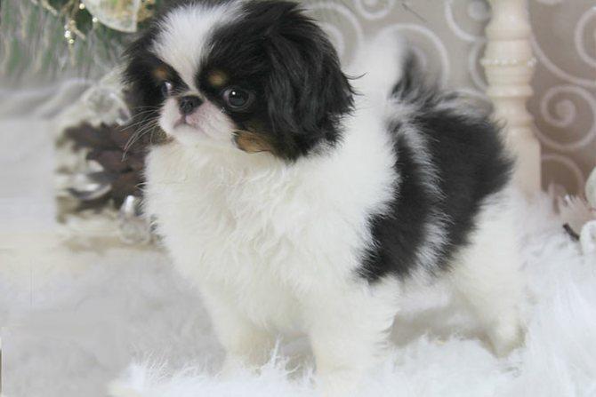 Советы по выбору щенка японского хина