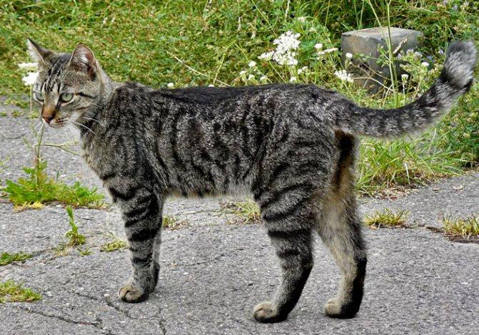 Современная домашняя кошка дикого окраса. Фото: Jens Nietschmann / Wikipedia / CC BY-SA 3.0 («Наука и жизнь» №8, 2017)