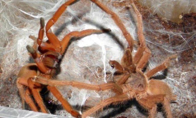 Спаривание воронковых пауков