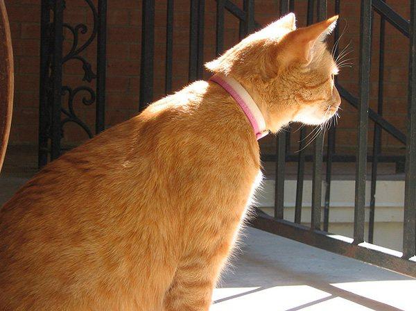 Специальные ошейники от блох выпускаются как для собак, так и для кошек.