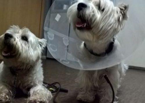 специальные воротники при гематоме уха у собаки