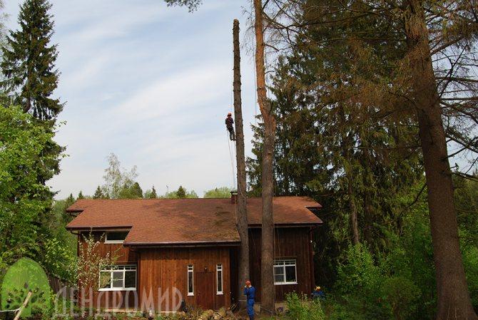 спил дерева, пораженного короедом