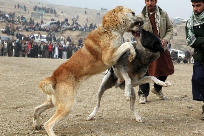Спортивный бой среднеазиатских овчарок