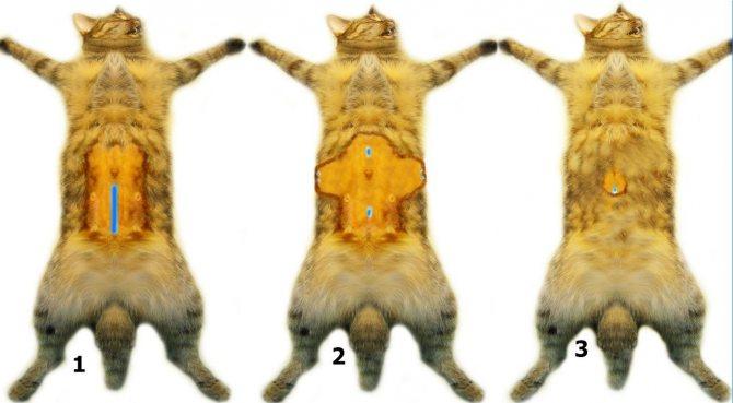 Способы стерилизации кошки