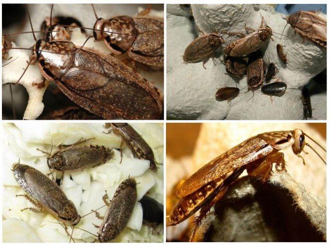 Среда обитания мраморных тараканов