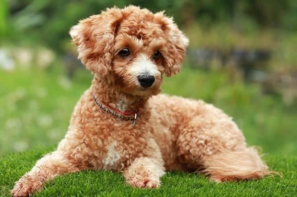 Средние-породы-собак-Описания-особенности-названия-и-виды -средних-пород-собак-2