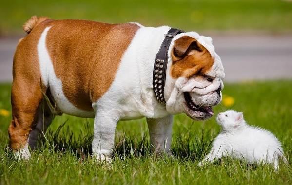 Средние-породы-собак-Описания-особенности-названия-и-виды -средних-пород-собак-20