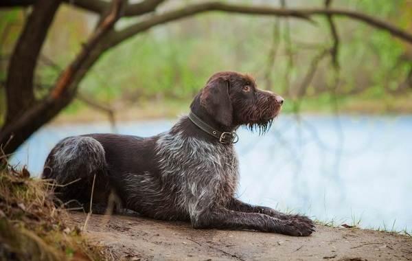 Средние-породы-собак-Описания-особенности-названия-и-виды -средних-пород-собак-28