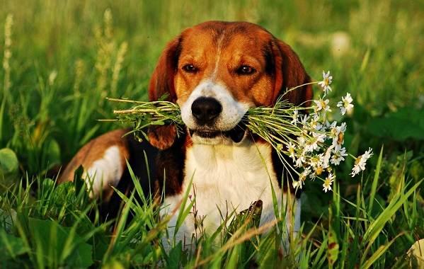 Средние-породы-собак-Описания-особенности-названия-и-виды -средних-пород-собак-31