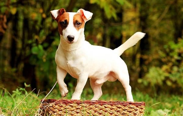 Средние-породы-собак-Описания-особенности-названия-и-виды -средних-пород-собак-4