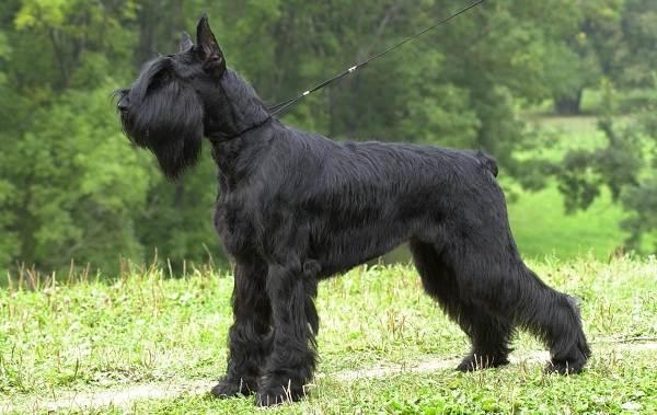 Средние-породы-собак-Описания-особенности-названия-и-виды -средних-пород-собак-46