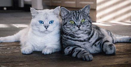 Средний вес британской кошки
