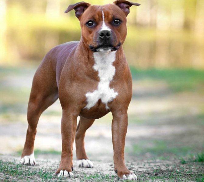 Стаффордширский терьер щенки