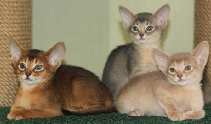 Стандартные окрасы абиссинских кошек