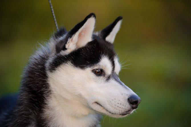 Стандарты породы Сибирский Хаски - голова
