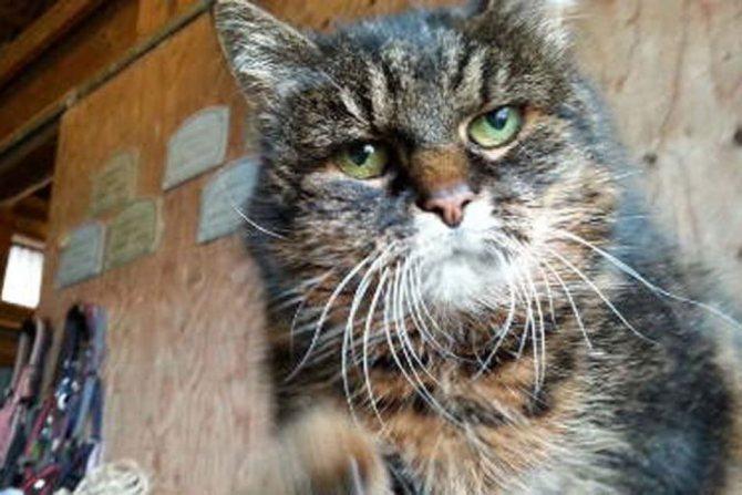 Старая кошка миссан