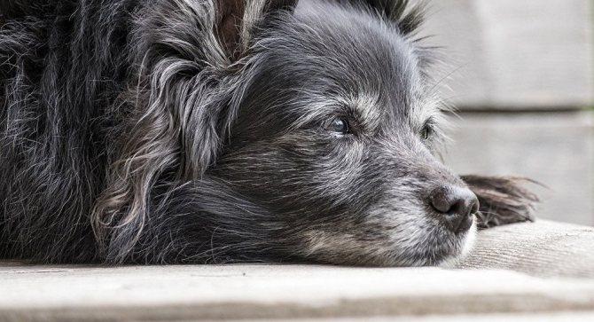 Старая собака